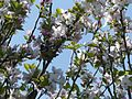 Malus domestica & Cyanistes caeruleus Josselin 02.jpg