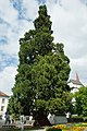 Mammutbaum Sankt-Peter-Gässele.jpg