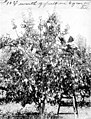 Man picking pears from tree in orchard, Yakima Valley, 1910 (INDOCC 1346).jpg