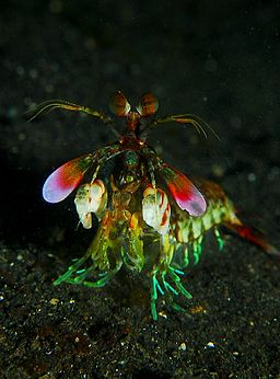 Mantis shrimp from front