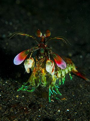 Mantis shrimp - Mantis shrimp from the front
