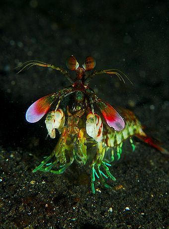 Zebra mantis shrimp eyes - photo#25