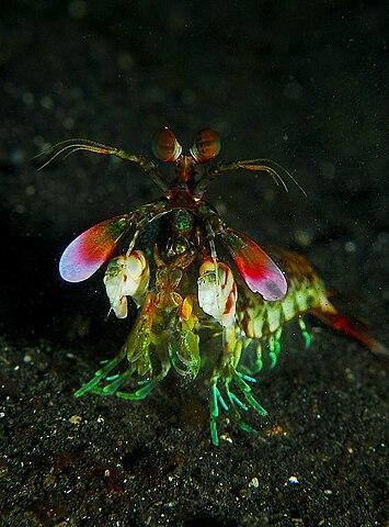 Mantis Shrimp Has the World's Fastest Punch 355px-Mantis_shrimp_from_front