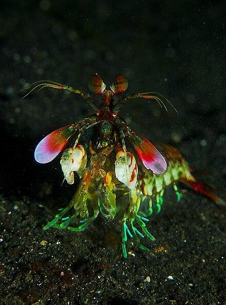 Fangschreckenkrebse - Wikiwand