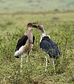 Marabou Stork Fighting 3.jpg