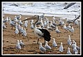Margate Pelican Rescue- Hook Location-07 (6805332826).jpg