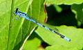 Marsh Bluet, male.jpg