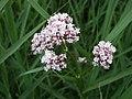 Marsh Valerian ( Valeriana dioica) - geograph.org.uk - 849679.jpg