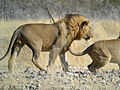 Mating Lion, Etosha National Park, Namibia (3905912331).jpg