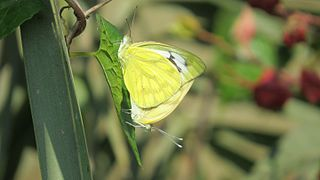Mating pair of Cepora nerissa Fabricius, 1775 – Common Gull-Beautiful butterfly of bangladesh.jpg