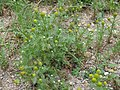 Matricaria discoidea plant (04).jpg