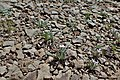 Matthiola parviflora kz07.jpg