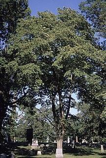 <i>Ulmus rubra</i> Species of tree