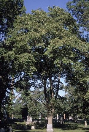 Ulmus rubra - Mature cultivated slippery elm (Ulmus rubra)
