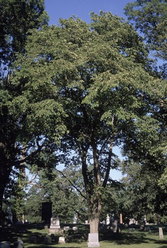 Temperate deciduous forest - Image: Mature Ulmus rubra in graveyard