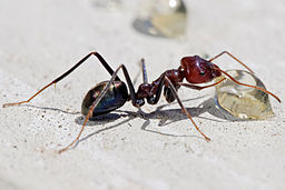 Meat eater ant feeding on honey