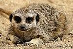 Meercat - Cotswold Wildlife Park (29117441072).jpg