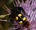 Megascolia maculata.jpg