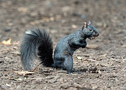 Melanistic squirrel in Central Park (14626).jpg