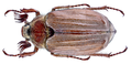 Melolontha hippocastani Fabricius, 1801 male (14060973485).png