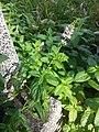 Mentha spicata sl1.jpg