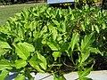 Menyanthes trifoliata1.jpg