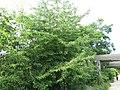 Merisier de la coulée verte de Colombes - fruits.jpg