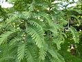 Metasequoia glyptostroboides-Jardin des Plantes 03.JPG
