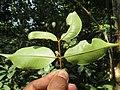 Meteoromyrtus wynaadensis flower from Periya (3).jpg