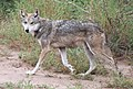 Mexican Gray Wolf 1 (14910052563).jpg