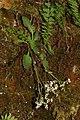 Micranthes rufidula 2604.JPG