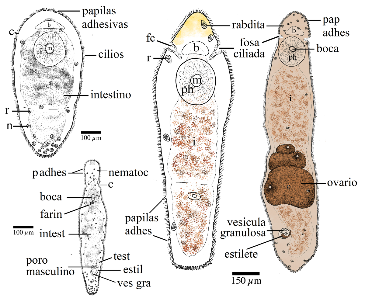 filo platyhelminthes turbellaria