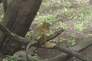 Gabon talapoin Species of Old World monkey