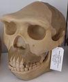 Modell eines Schädels des Homo erectus modjokertensis (Java-Mensch).jpg
