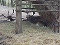 Mogyoróhegyi vadbemutató kert, szarvasok, 2018 Visegrád.jpg