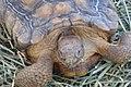 Mojave Desert Tortoise (6079246109).jpg