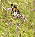 Monarch on Oregano.jpg
