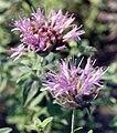 Monardella odoratissima.jpg