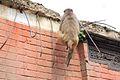 Monkey at swayambhunath.jpg