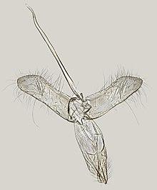 List of moths of India (Tineidae) - WikiVisually