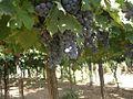 Montepulciano d Abruzzo 01 (RaBoe).jpg