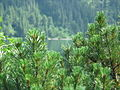 Morskie Oko behind Mountain Pine.JPG