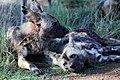 Mosetlha, Madikwe Game Reserve, South Africa (31922848717).jpg