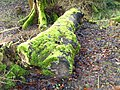 Mossy log by The Bishop's Walk - geograph.org.uk - 1119090.jpg