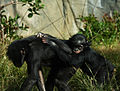 Mother and Baby Chimpanzee (4241367353).jpg