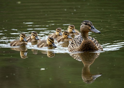 Mother and Baby Ducks (5828496140)