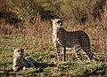 Mother and cub (8462532341).jpg