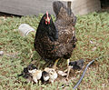 Mother hen with chicks.jpg