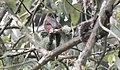 Mountain Trogon (Trogon mexicanus) female (5783220603).jpg