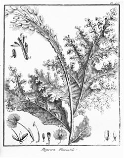 Podostemaceae